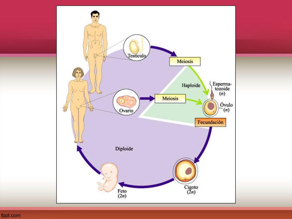 La meiosis Este proceso se realiza en las glándulas sexuales (ovarios y testículos) y es importante para la producción de gametos.