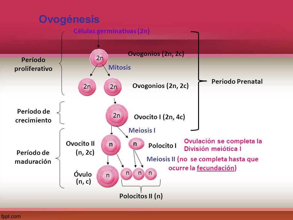 Período proliferativo Período de crecimiento Células germinativas (2n) Ovogonios (2n, 2c) 2n Mitosis Ovogonios (2n, 2c) 2n Ovocito I (2n, 4c) 2n Meios