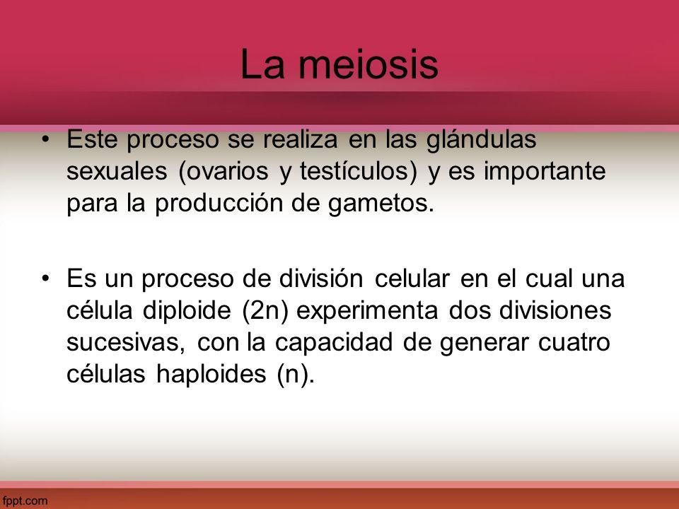La meiosis Este proceso se realiza en las glándulas sexuales (ovarios y testículos) y es importante para la producción de gametos. Es un proceso de di