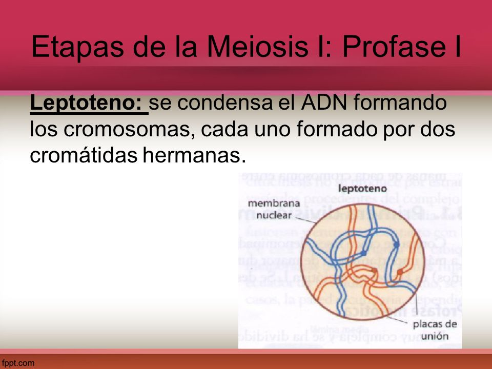 Etapas de la Meiosis I: Profase I Leptoteno: se condensa el ADN formando los cromosomas, cada uno formado por dos cromátidas hermanas.