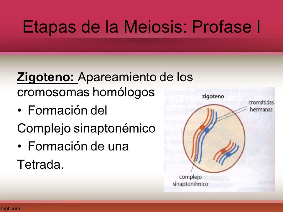 Espermatogénesis Fase de multiplicación: En los testículos se encuentran las células precursoras de los espermatozoides, llamadas células germinales primordiales.