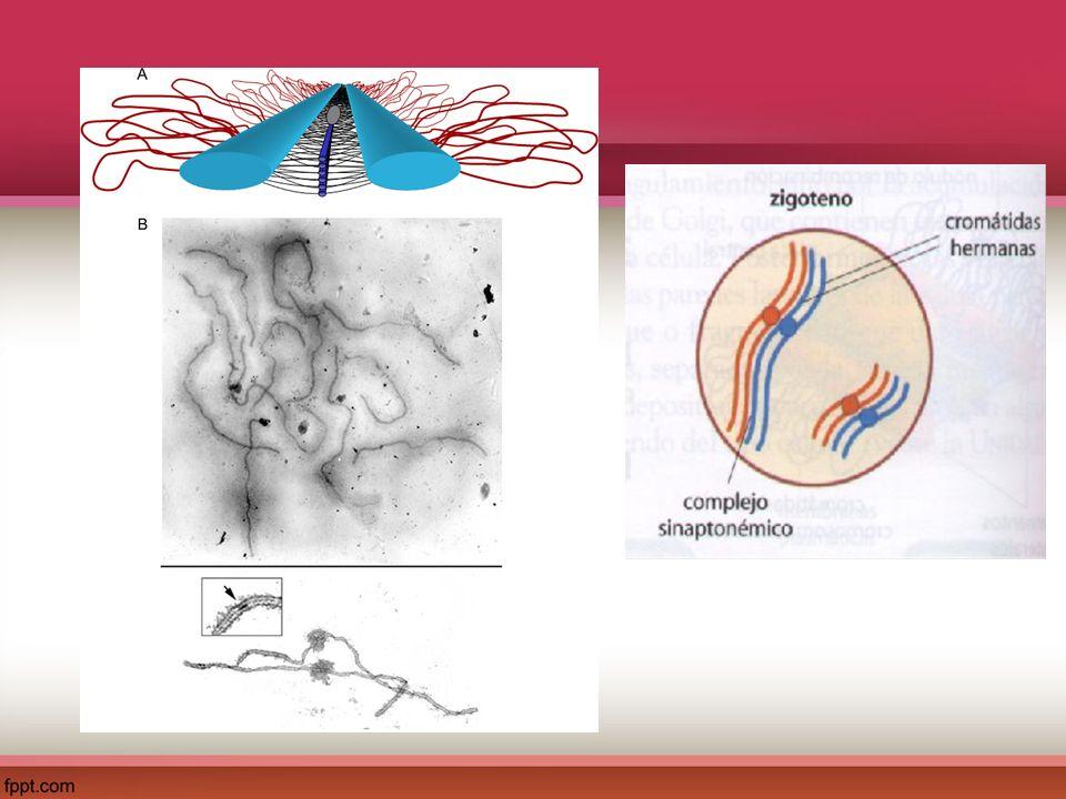 Etapas de la Meiosis I: Profase I Paquiteno: Cromosomas están estrechamente unidos y ocurre el entrecruzamiento o Crossing over.