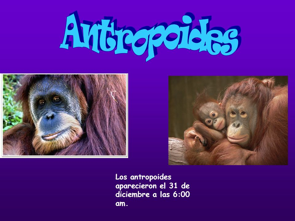 Los antropoides aparecieron el 31 de diciembre a las 6:00 am.