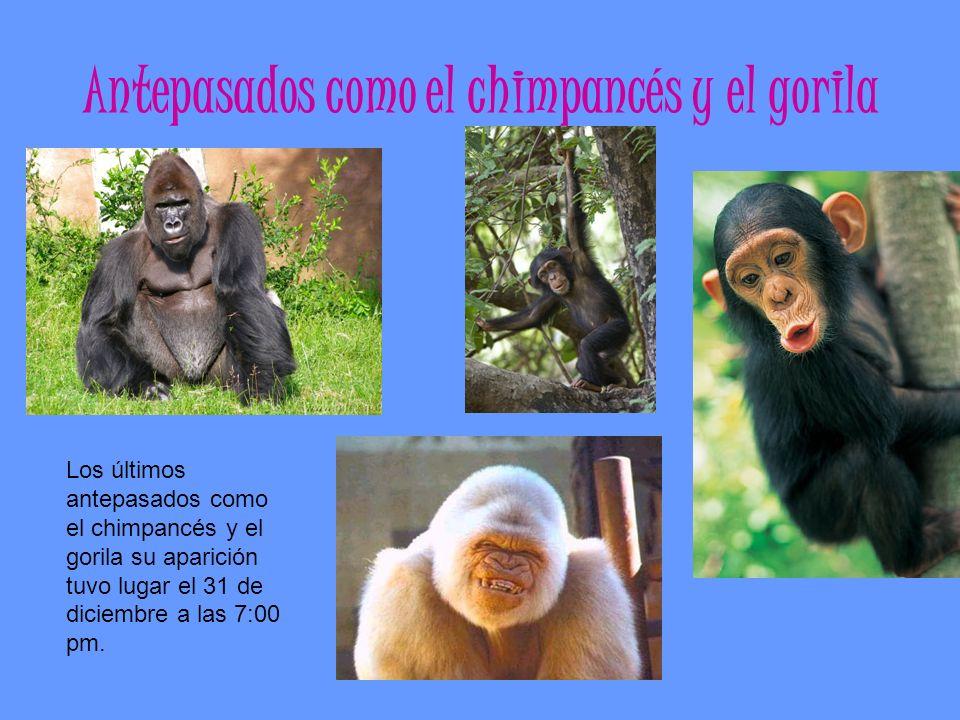 Antepasados como el chimpancés y el gorila Los últimos antepasados como el chimpancés y el gorila su aparición tuvo lugar el 31 de diciembre a las 7:0