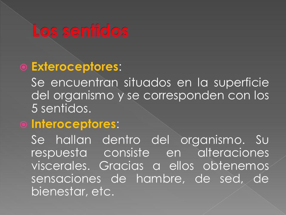 Exteroceptores : Se encuentran situados en la superficie del organismo y se corresponden con los 5 sentidos. Interoceptores : Se hallan dentro del org