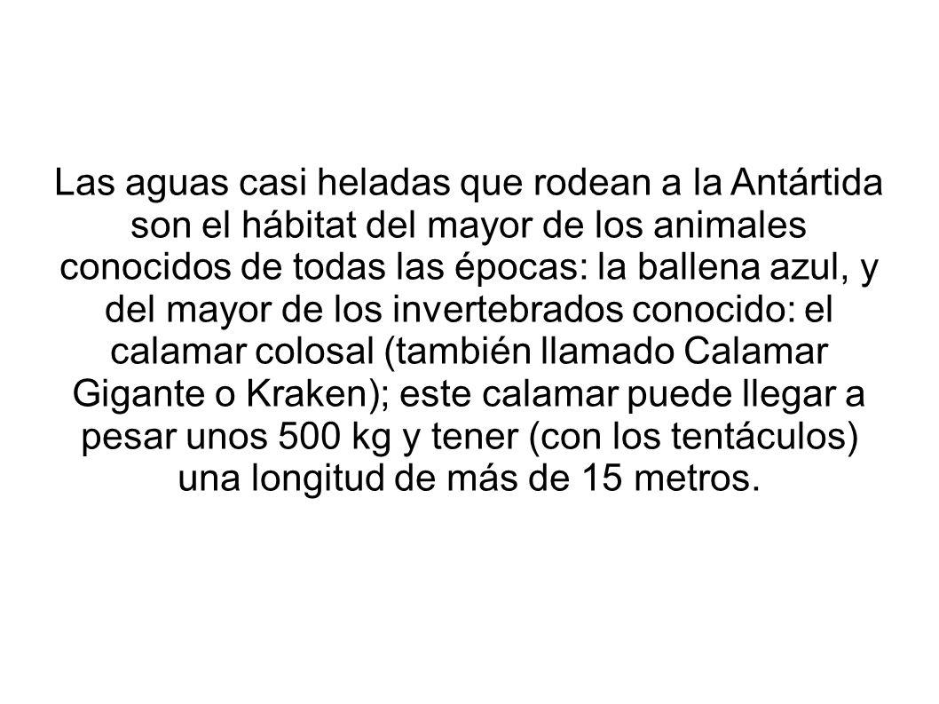 Las aguas casi heladas que rodean a la Antártida son el hábitat del mayor de los animales conocidos de todas las épocas: la ballena azul, y del mayor de los invertebrados conocido: el calamar colosal (también llamado Calamar Gigante o Kraken); este calamar puede llegar a pesar unos 500 kg y tener (con los tentáculos) una longitud de más de 15 metros.