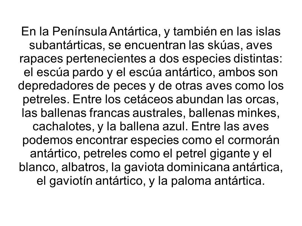 En la Península Antártica, y también en las islas subantárticas, se encuentran las skúas, aves rapaces pertenecientes a dos especies distintas: el escúa pardo y el escúa antártico, ambos son depredadores de peces y de otras aves como los petreles.