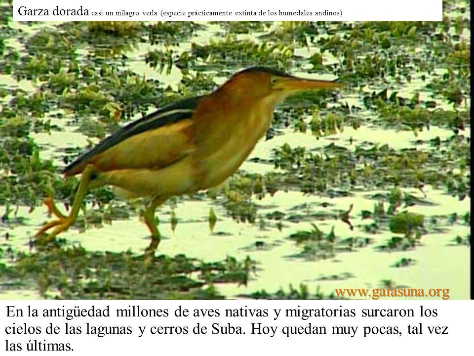 Garza dorada casi un milagro verla (especie prácticamente extinta de los humedales andinos) En la antigüedad millones de aves nativas y migratorias su