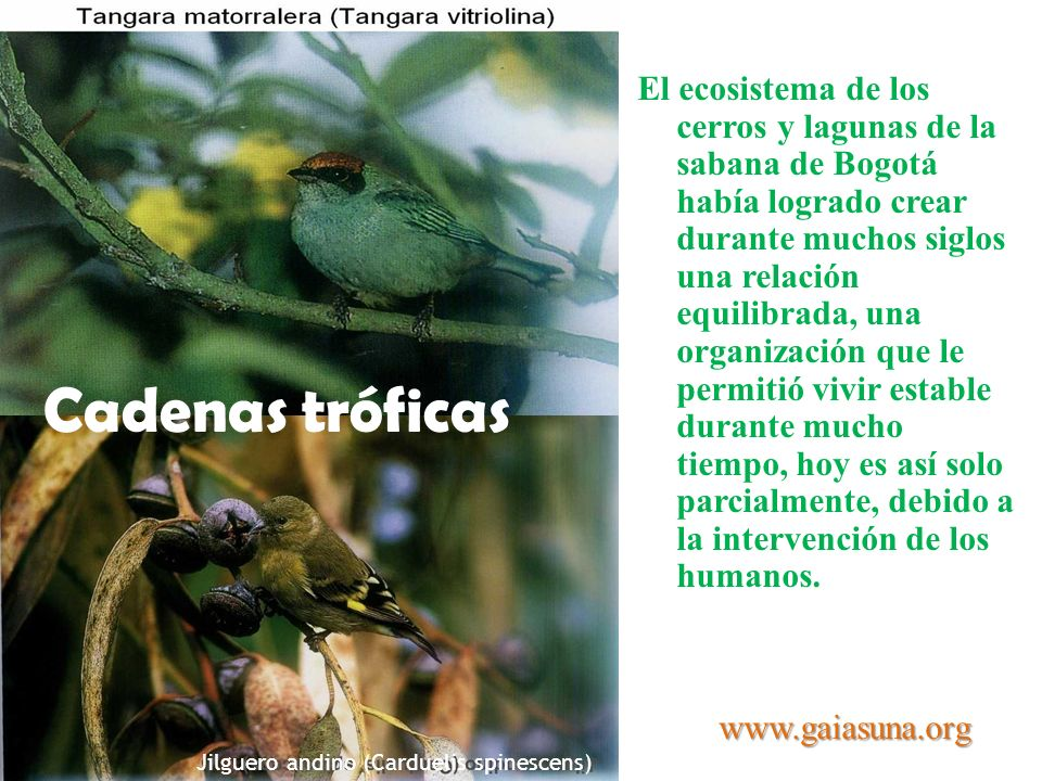 Jilguero andino (Carduelis spinescens) Tangara veranera (Piranga rubra) Cadenas tróficas El ecosistema de los cerros y lagunas de la sabana de Bogotá
