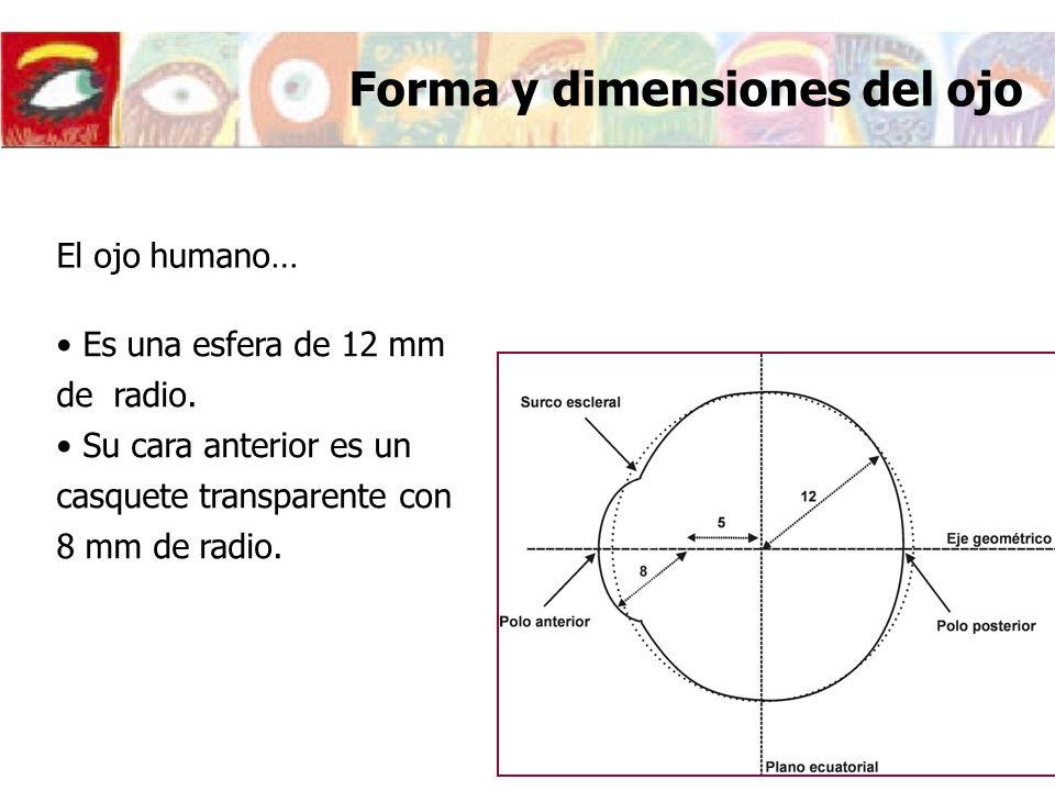 Forma y dimensiones del ojo Es una esfera de 12 mm de radio. Su cara anterior es un casquete transparente con 8 mm de radio. El ojo humano…