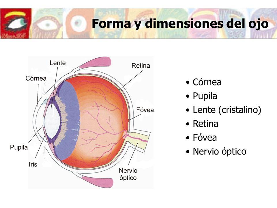 Forma y dimensiones del ojo Córnea Pupila Lente (cristalino) Retina Fóvea Nervio óptico