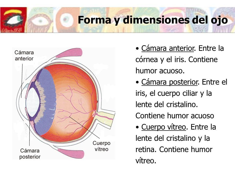 Forma y dimensiones del ojo Cámara anterior. Entre la córnea y el iris. Contiene humor acuoso. Cámara posterior. Entre el iris, el cuerpo ciliar y la