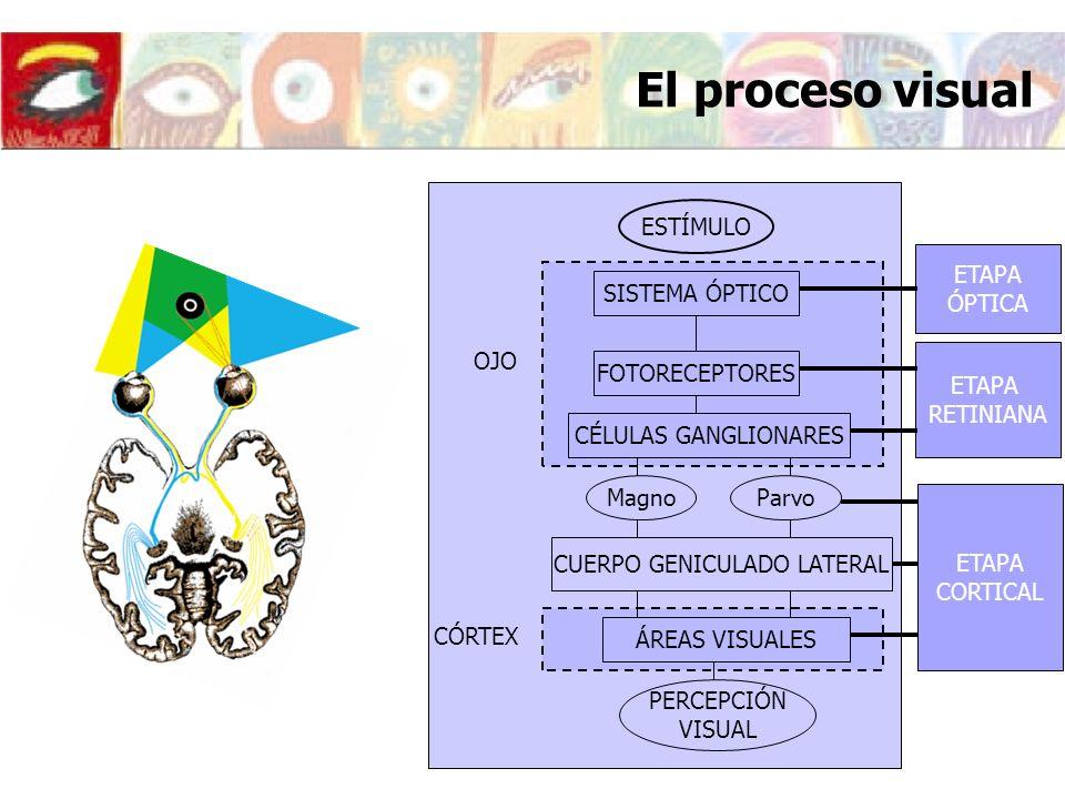 El proceso visual ETAPA ÓPTICA ETAPA RETINIANA ETAPA CORTICAL