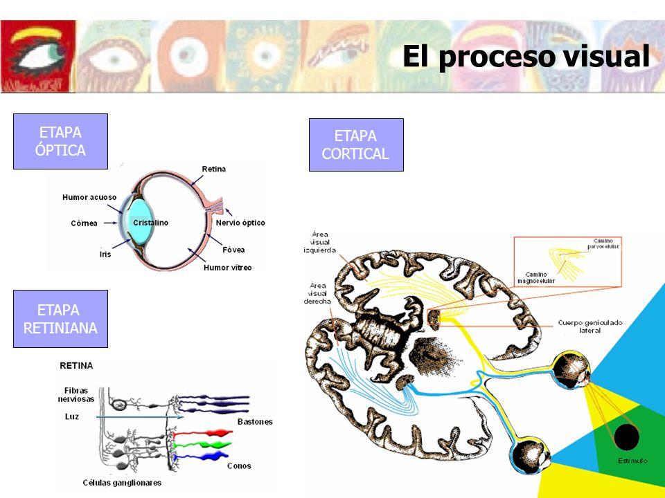 ÁREAS VISUALES ÓPTICA VISUAL Estudio del sistema Óptico del ojo ESTÍMULO SISTEMA ÓPTICO FOTORECEPTORES CÉLULAS GANGLIONARES OJO MagnoParvo CUERPO GENICULADO LATERAL PERCEPCIÓN VISUAL CÓRTEX ETAPA ÓPTICA ÁREAS VISUALES El proceso visual