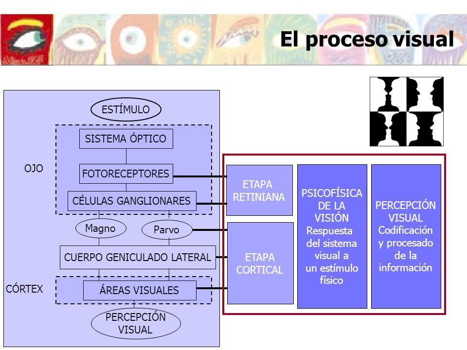 ÁREAS VISUALES VISIÓN BINOCULAR Estudio de los dos ojos actuando de forma coordinada ESTÍMULO SISTEMA ÓPTICO FOTORECEPTORES CÉLULAS GANGLIONARES OJO MagnoParvo CUERPO GENICULADO LATERAL PERCEPCIÓN VISUAL CÓRTEX ETAPA ÓPTICA ETAPA RETINIANA ETAPA CORTICAL ÁREAS VISUALES El proceso visual