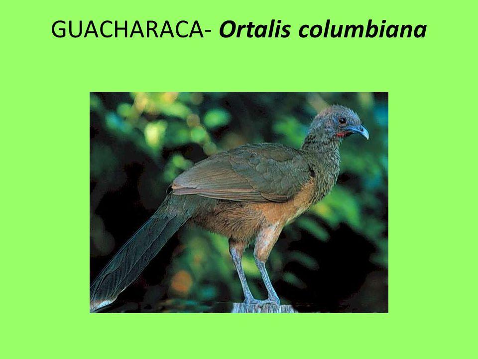 GUACHARACA- Ortalis columbiana