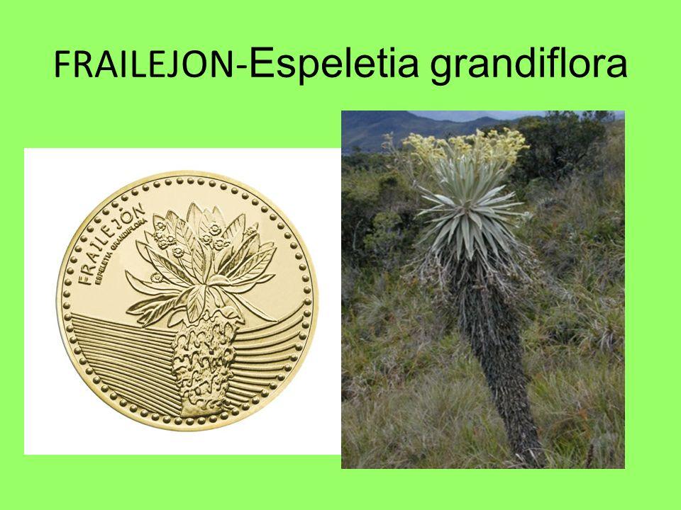 FRAILEJON- Espeletia grandiflora