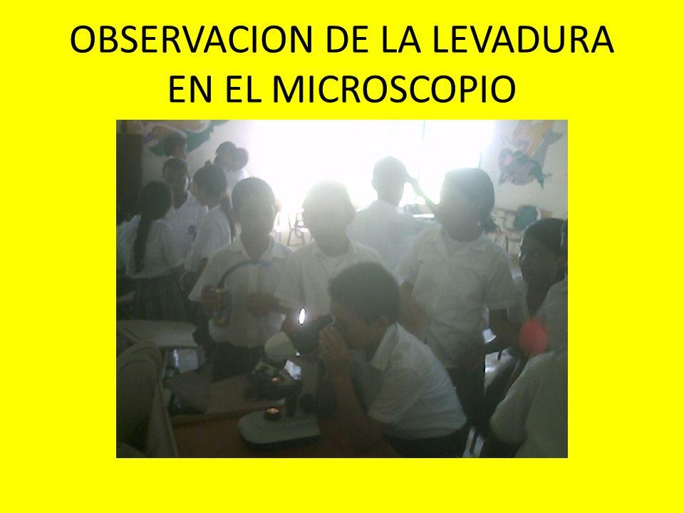 OBSERVACION DE LA LEVADURA EN EL MICROSCOPIO
