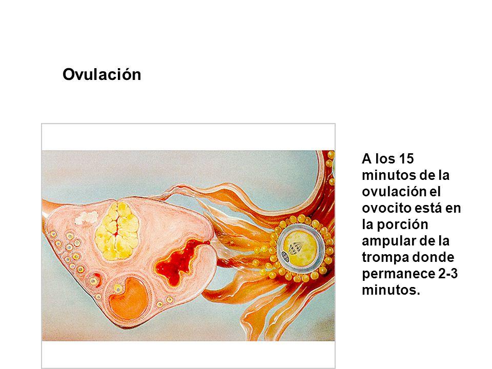 Ovulación A los 15 minutos de la ovulación el ovocito está en la porción ampular de la trompa donde permanece 2-3 minutos.