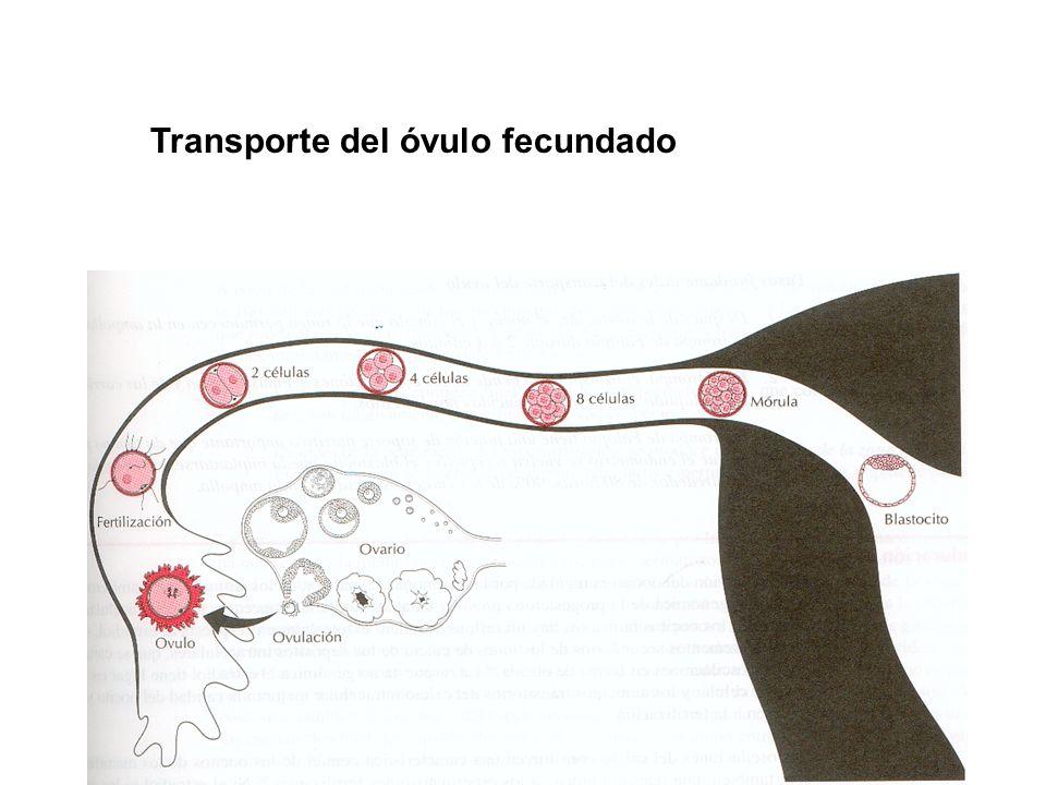 Transporte del óvulo fecundado