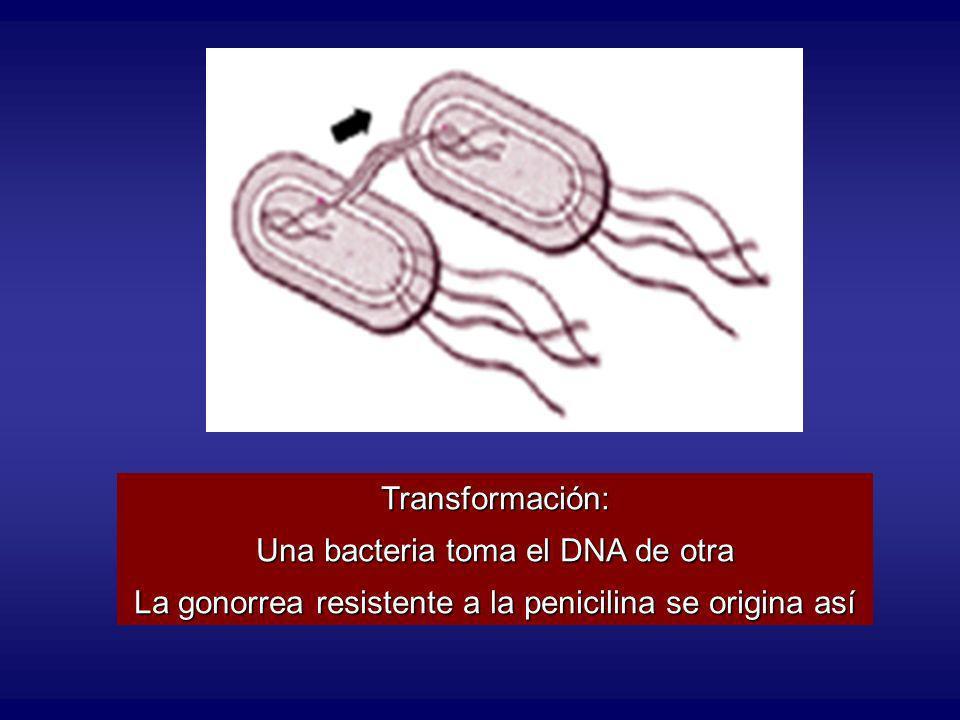 Transformación: Una bacteria toma el DNA de otra La gonorrea resistente a la penicilina se origina así