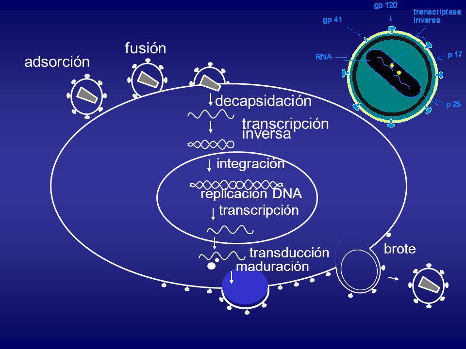 adsorción fusión decapsidación transcripción inversa integración replicación DNA transcripción transducción maduración brote