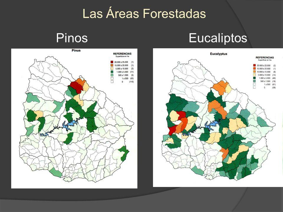 PinosEucaliptos Las Áreas Forestadas