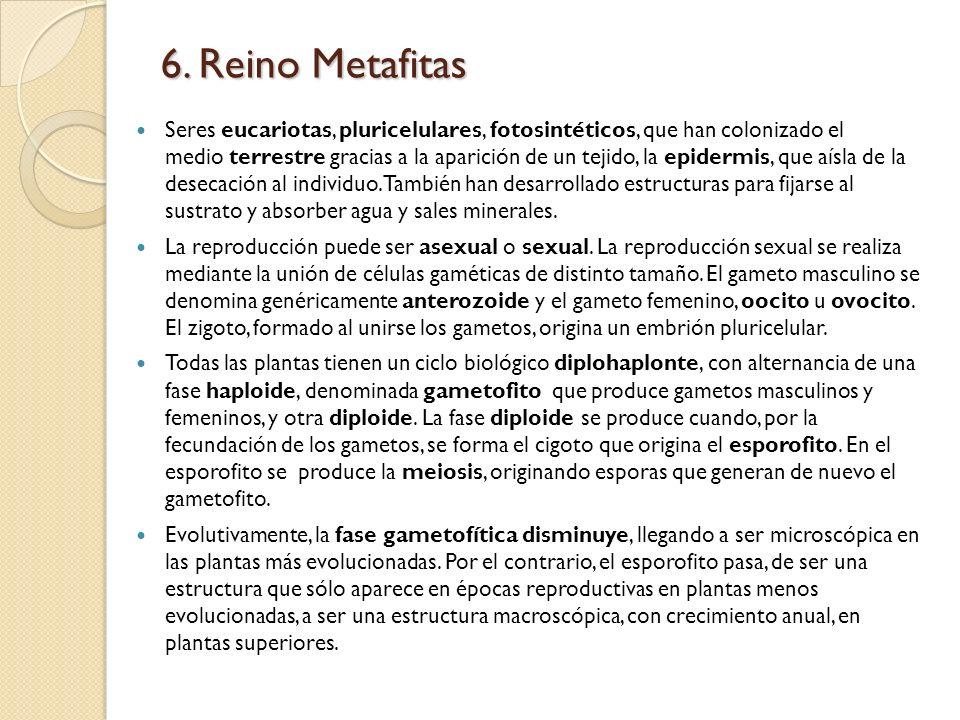 6. Reino Metafitas Seres eucariotas, pluricelulares, fotosintéticos, que han colonizado el medio terrestre gracias a la aparición de un tejido, la epi