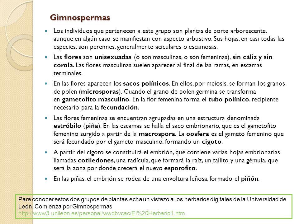 Gimnospermas Los individuos que pertenecen a este grupo son plantas de porte arborescente, aunque en algún caso se manifiestan con aspecto arbustivo.