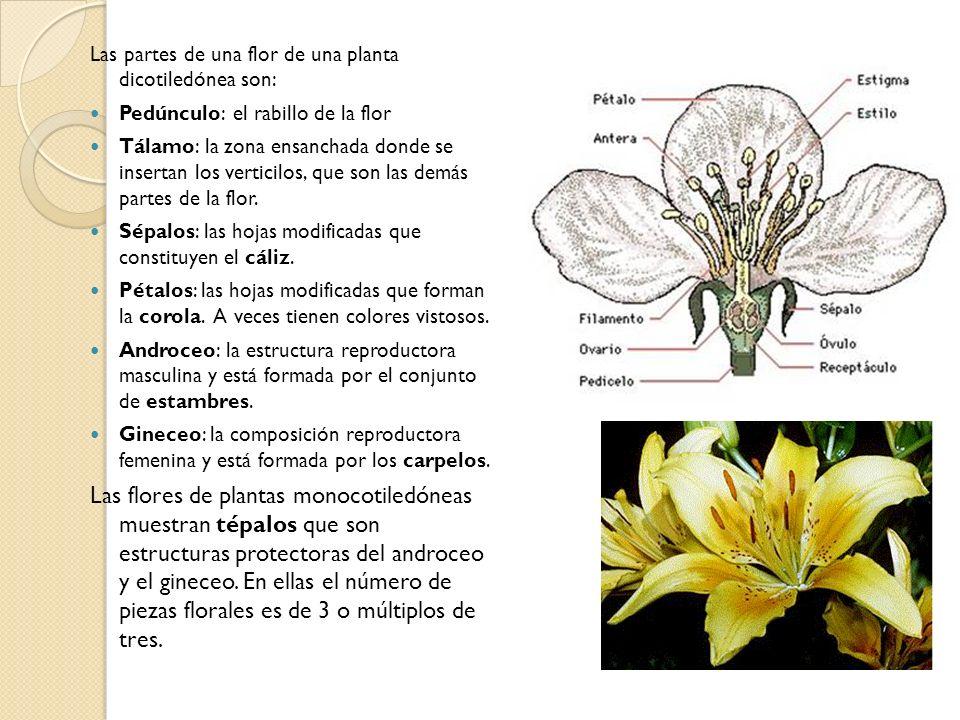 Las partes de una flor de una planta dicotiledónea son: Pedúnculo: el rabillo de la flor Tálamo: la zona ensanchada donde se insertan los verticilos,