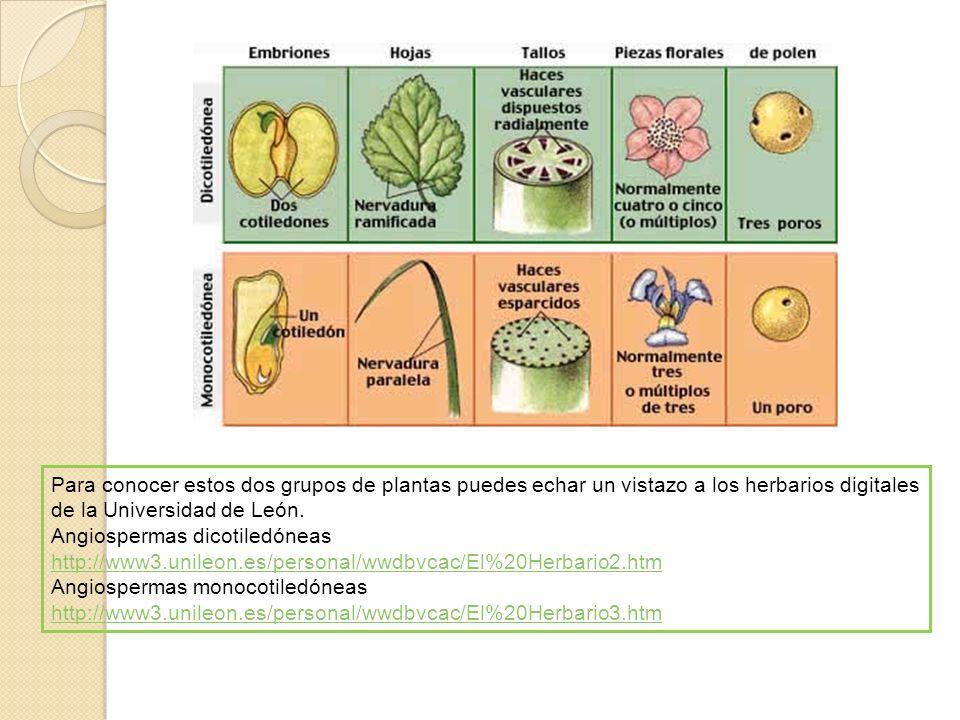 Para conocer estos dos grupos de plantas puedes echar un vistazo a los herbarios digitales de la Universidad de León. Angiospermas dicotiledóneas http