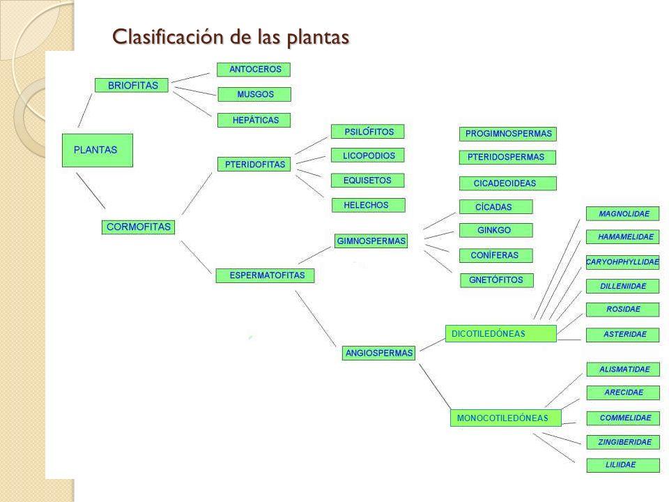Clasificación de las plantas DICOTILEDÓNEAS MONOCOTILEDÓNEAS