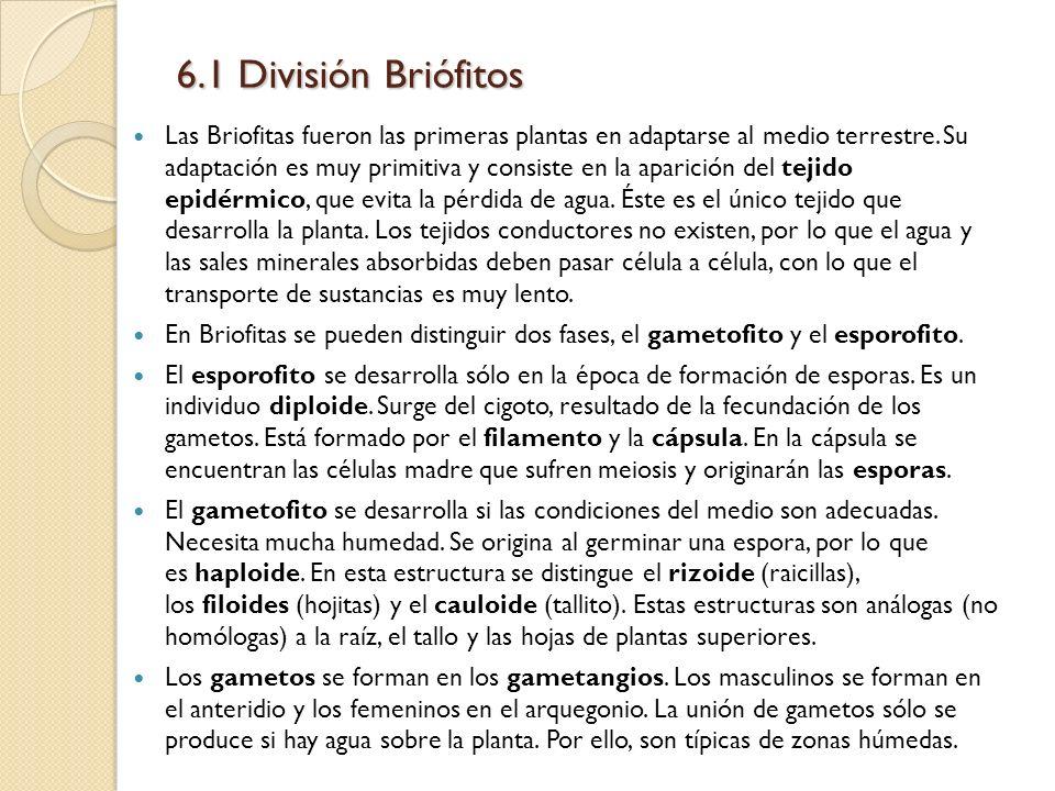 6.1 División Briófitos Las Briofitas fueron las primeras plantas en adaptarse al medio terrestre. Su adaptación es muy primitiva y consiste en la apar