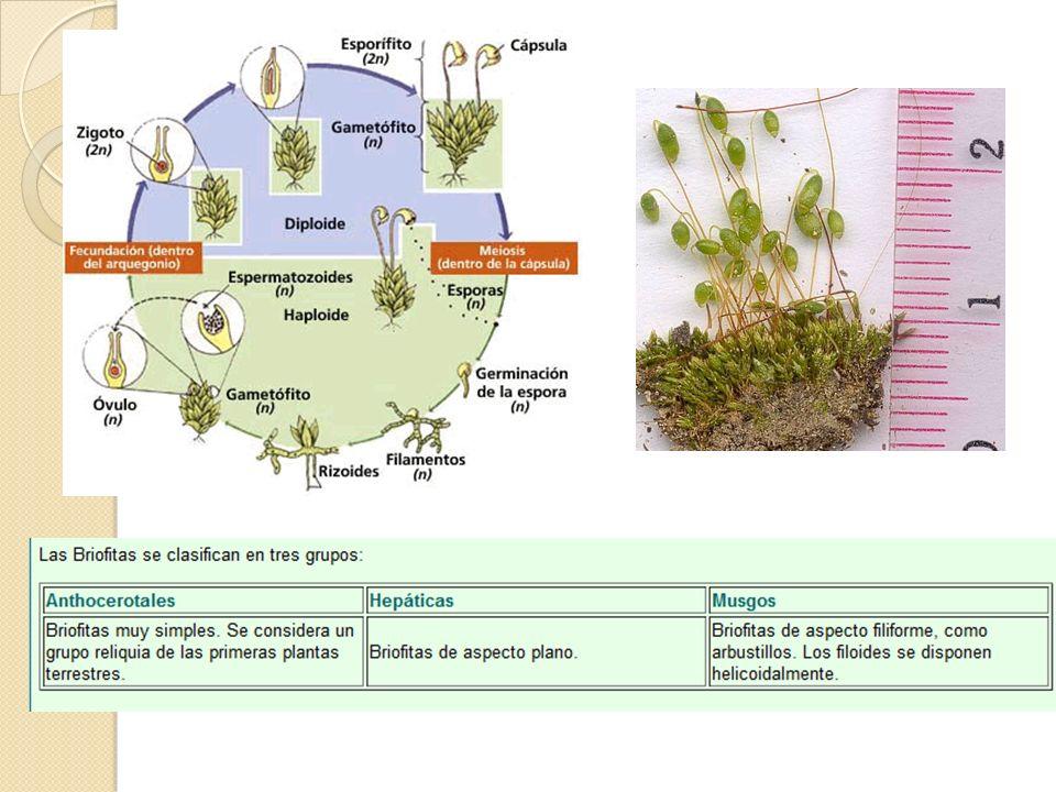 Para conocer estos dos grupos de plantas puedes echar un vistazo a los herbarios digitales de la Universidad de León.