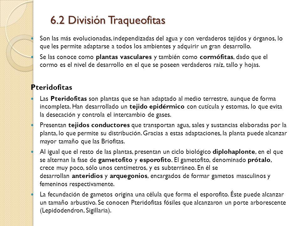 6.2 División Traqueofitas Son las más evolucionadas, independizadas del agua y con verdaderos tejidos y órganos, lo que les permite adaptarse a todos