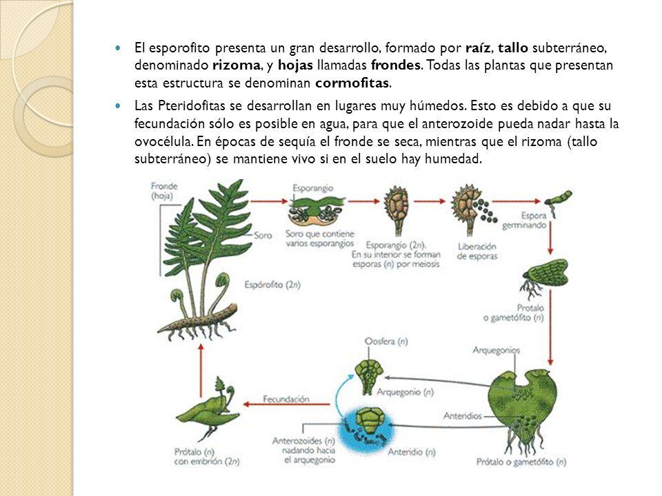 El esporofito presenta un gran desarrollo, formado por raíz, tallo subterráneo, denominado rizoma, y hojas llamadas frondes. Todas las plantas que pre