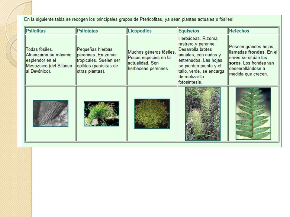 Espermatofitas En esta División encontramos plantas bien adaptadas al medio terrestre.