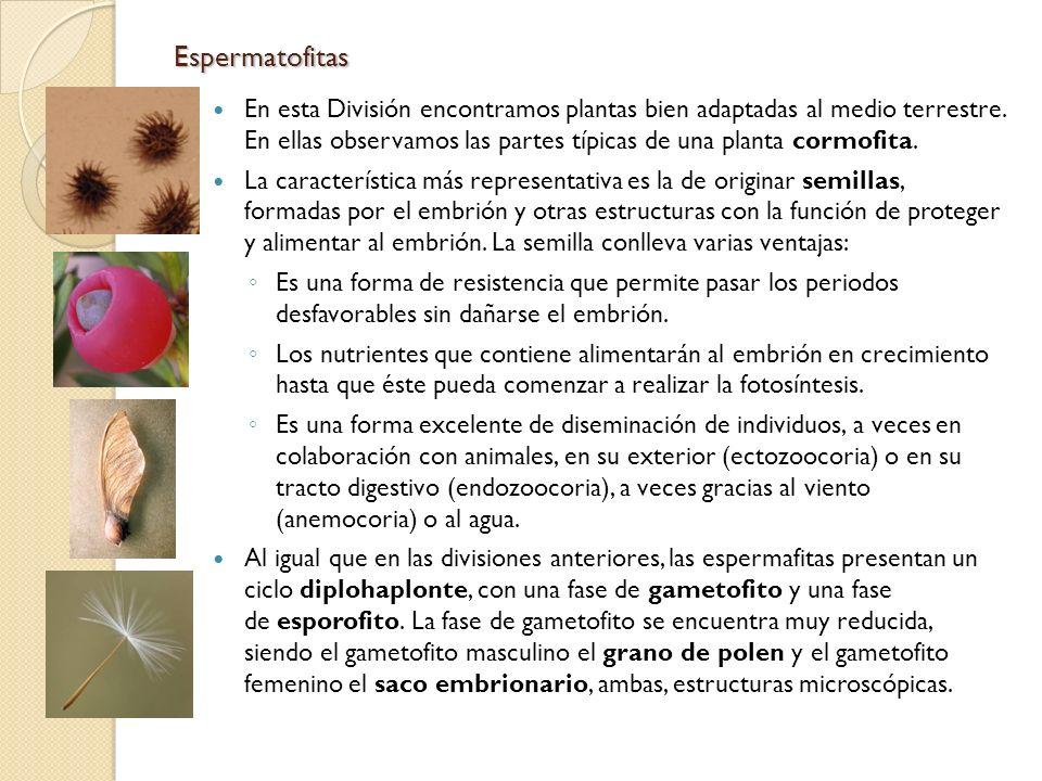 Espermatofitas En esta División encontramos plantas bien adaptadas al medio terrestre. En ellas observamos las partes típicas de una planta cormofita.