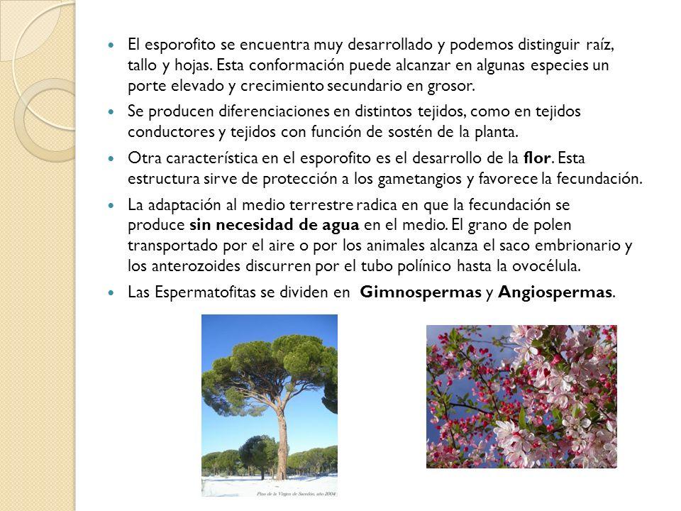 El esporofito se encuentra muy desarrollado y podemos distinguir raíz, tallo y hojas. Esta conformación puede alcanzar en algunas especies un porte el