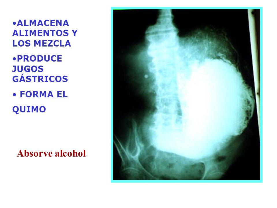 ALMACENA ALIMENTOS Y LOS MEZCLA PRODUCE JUGOS GÁSTRICOS FORMA EL QUIMO Absorve alcohol