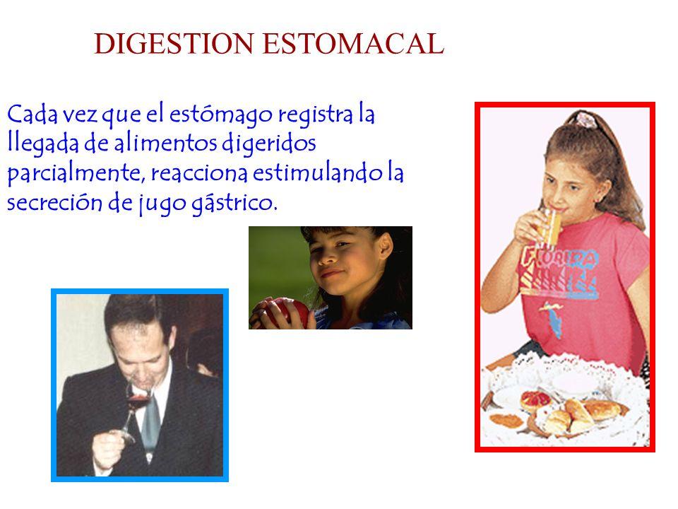 Cada vez que el estómago registra la llegada de alimentos digeridos parcialmente, reacciona estimulando la secreción de jugo gástrico. DIGESTION ESTOM