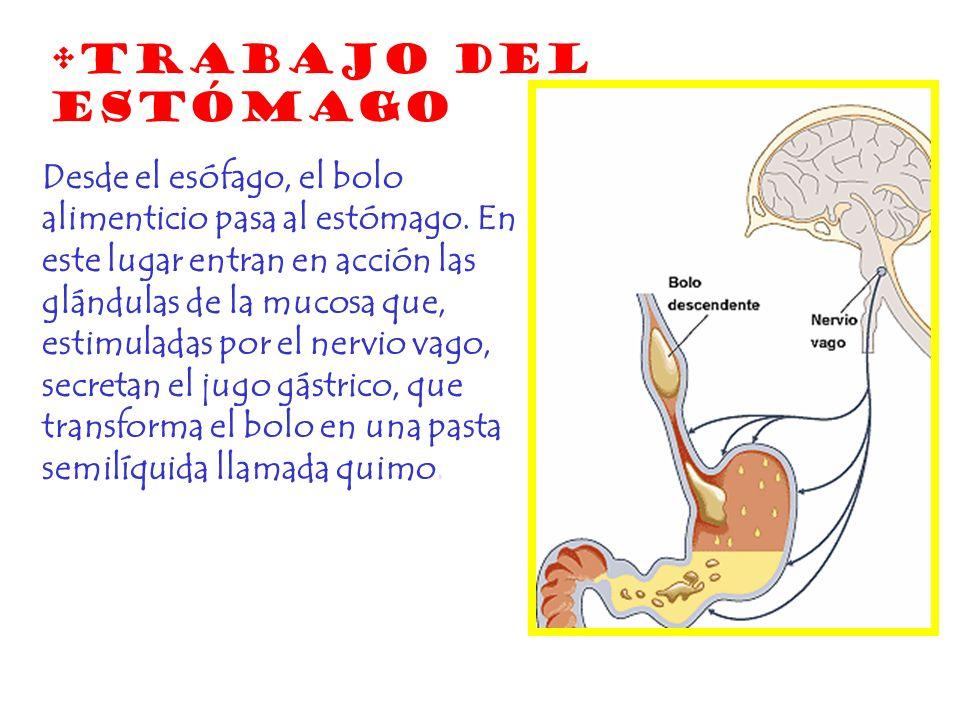 Desde el esófago, el bolo alimenticio pasa al estómago. En este lugar entran en acción las glándulas de la mucosa que, estimuladas por el nervio vago,