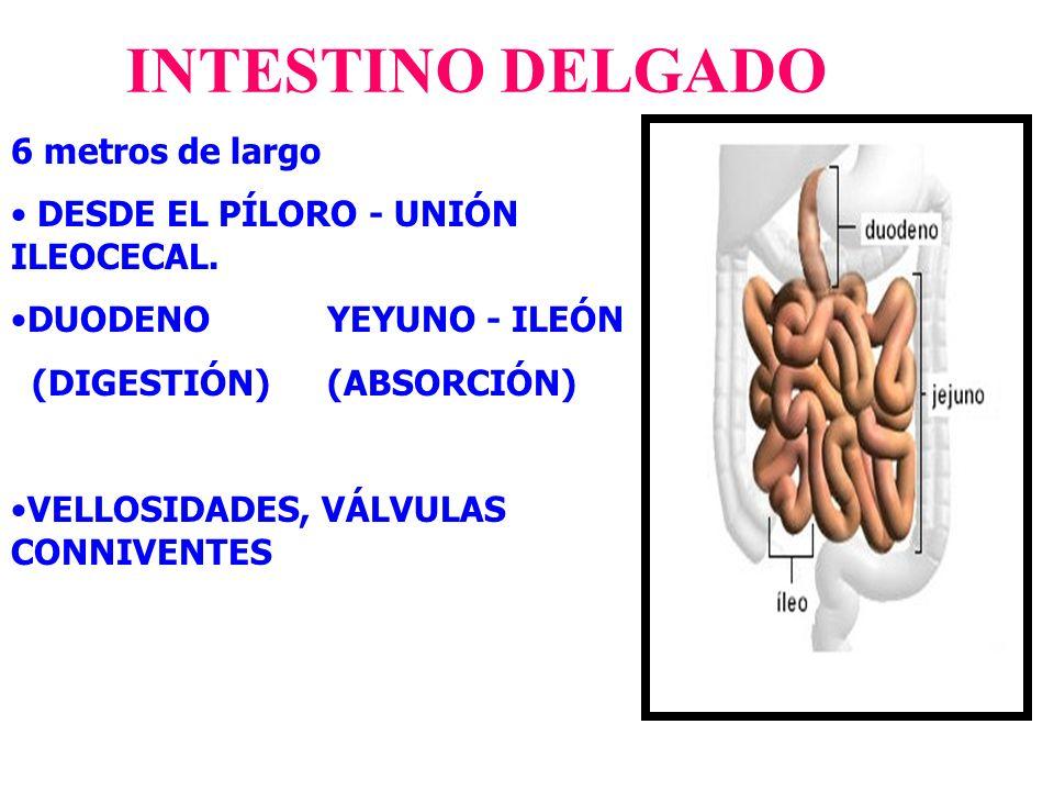 6 metros de largo DESDE EL PÍLORO - UNIÓN ILEOCECAL. DUODENO YEYUNO - ILEÓN (DIGESTIÓN) (ABSORCIÓN) VELLOSIDADES, VÁLVULAS CONNIVENTES INTESTINO DELGA