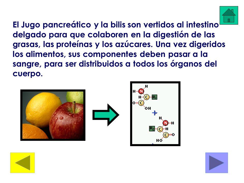 El Jugo pancreático y la bilis son vertidos al intestino delgado para que colaboren en la digestión de las grasas, las proteínas y los azúcares. Una v