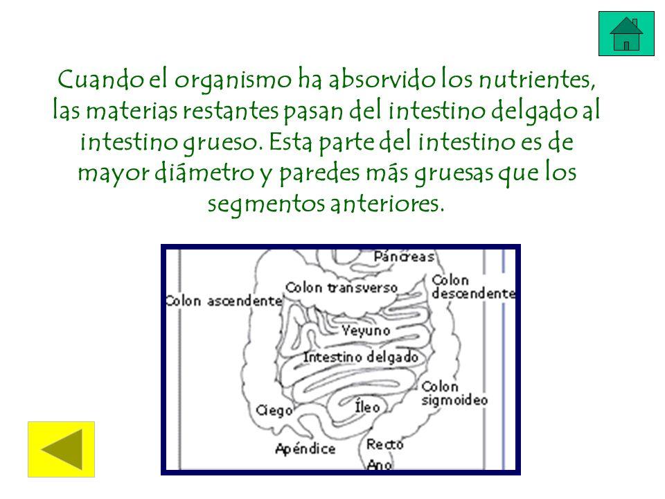 Cuando el organismo ha absorvido los nutrientes, las materias restantes pasan del intestino delgado al intestino grueso. Esta parte del intestino es d