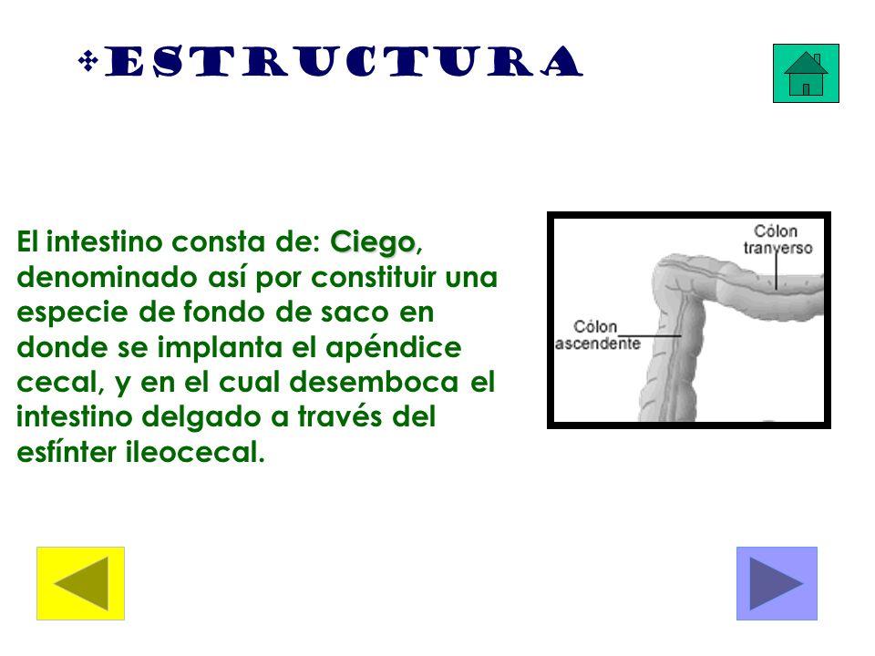 Estructura Ciego El intestino consta de: Ciego, denominado así por constituir una especie de fondo de saco en donde se implanta el apéndice cecal, y e