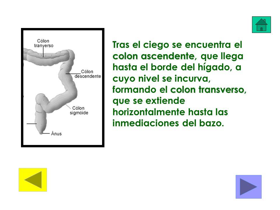 colon ascendente colon transverso Tras el ciego se encuentra el colon ascendente, que llega hasta el borde del hígado, a cuyo nivel se incurva, forman