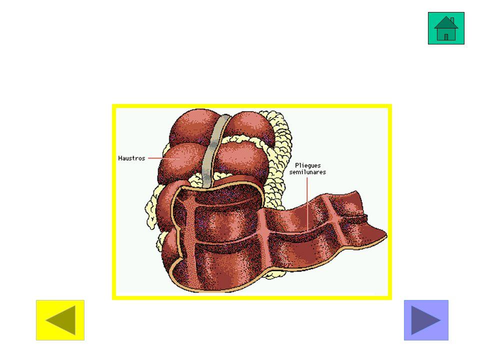 Sujeto en el abdomen por las membranas llamadas mesenterios, el intestino grueso es la parte final del aparato digestivo.