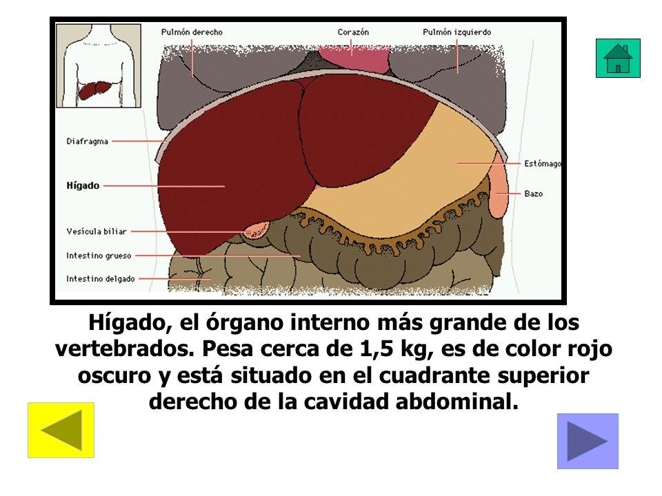 Hígado, el órgano interno más grande de los vertebrados. Pesa cerca de 1,5 kg, es de color rojo oscuro y está situado en el cuadrante superior derecho