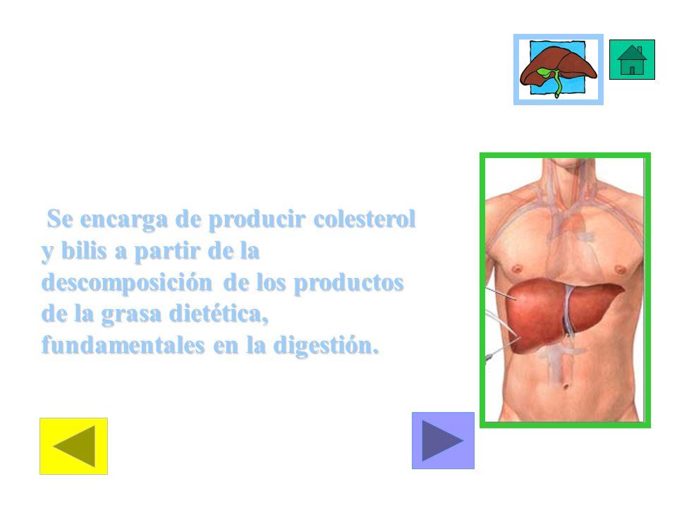 Trabajo del Hígado Se encarga de producir colesterol y bilis a partir de la descomposición de los productos de la grasa dietética, fundamentales en la